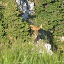 Active trekking tour in National Park Piatra Craiului - 2 days - Chamois family?