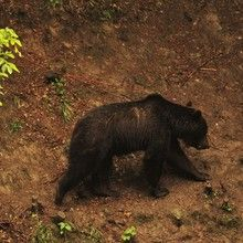 Brown Bear Watching in the Wild - Brown bears watching in the wild
