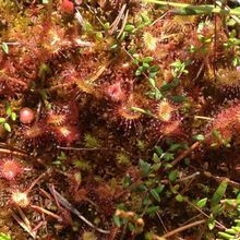 Small group day trip to the unique volcanic lake in Eastern Europe - carnivorous plants ''Drosera rotundifolia''