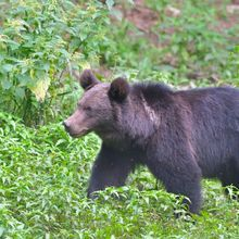 Adventure in Transylvania and Bear Watching - 7 days - Brown bear watching Transylvania